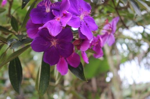 Vào thu là thời điểm hoa Pơ Ra Nhằng nở rộ, du khách sẽ được chiêm ngưỡng sắc tím rợp đất trời.