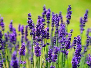 Cận cảnh bông hoa Lavender (hoai oải hương)