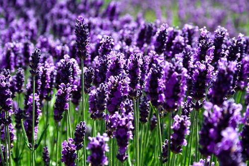 Những màu tím thủy chung của hoa oải hương thu hút sự tìm kiếm và trải nghiệm của mọi du khách thập phương.