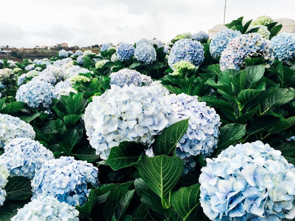 Cánh đồng hoa Cẩm tú cầu – Cầu Mới là điểm sống ảo tuyệt vời.