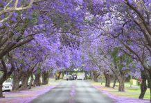 Tháng 9 – 10 là mùa hoa dã quỳ ở Đà Lạt.
