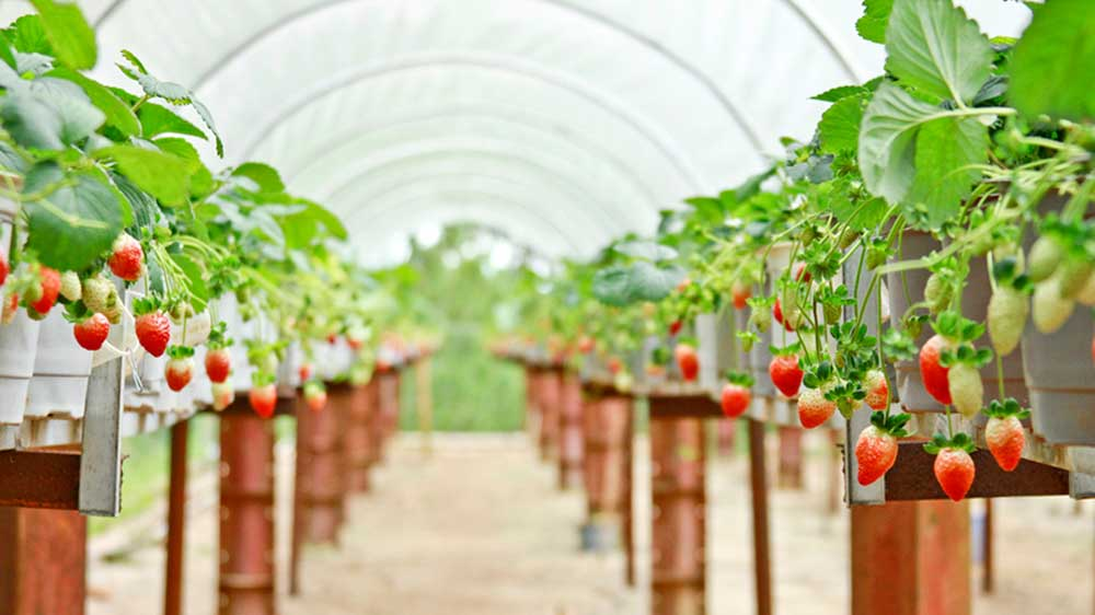 Tại vườn dâu Biofresh, bạn sẽ được tự mình hái những trái dâu chín mọng.