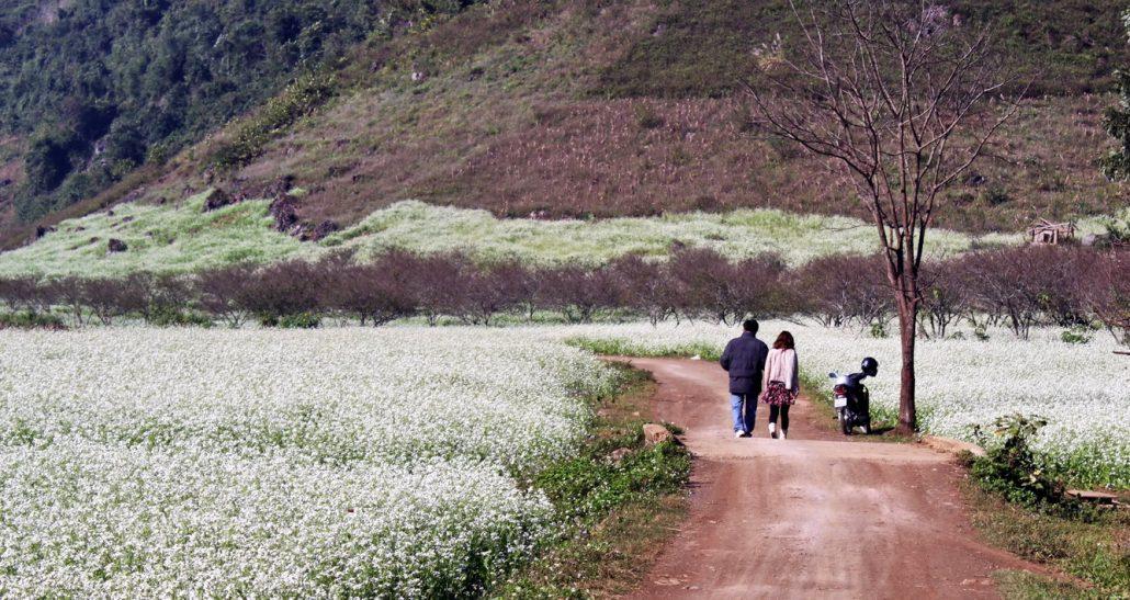 Đến Đà Lạt tháng 11, bạn còn được ngắm vườn hoa cải trắng mộng mơ.