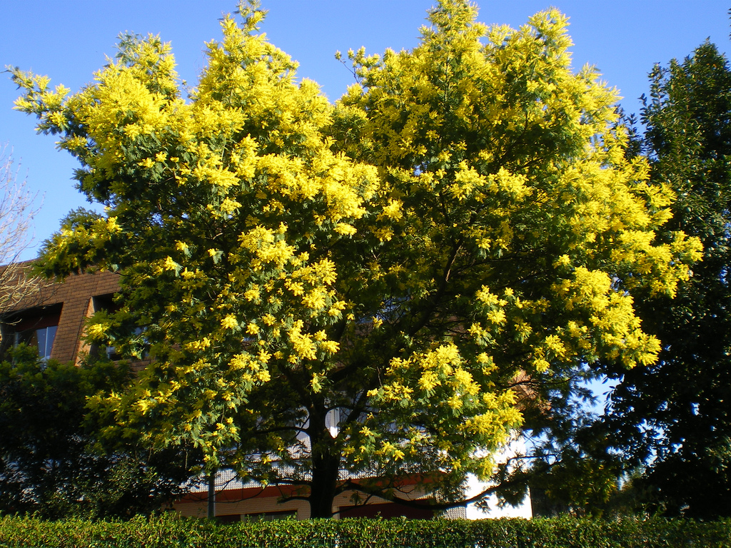Đà Lạt nhuộm màu vàng tươi của hoa mimosa.