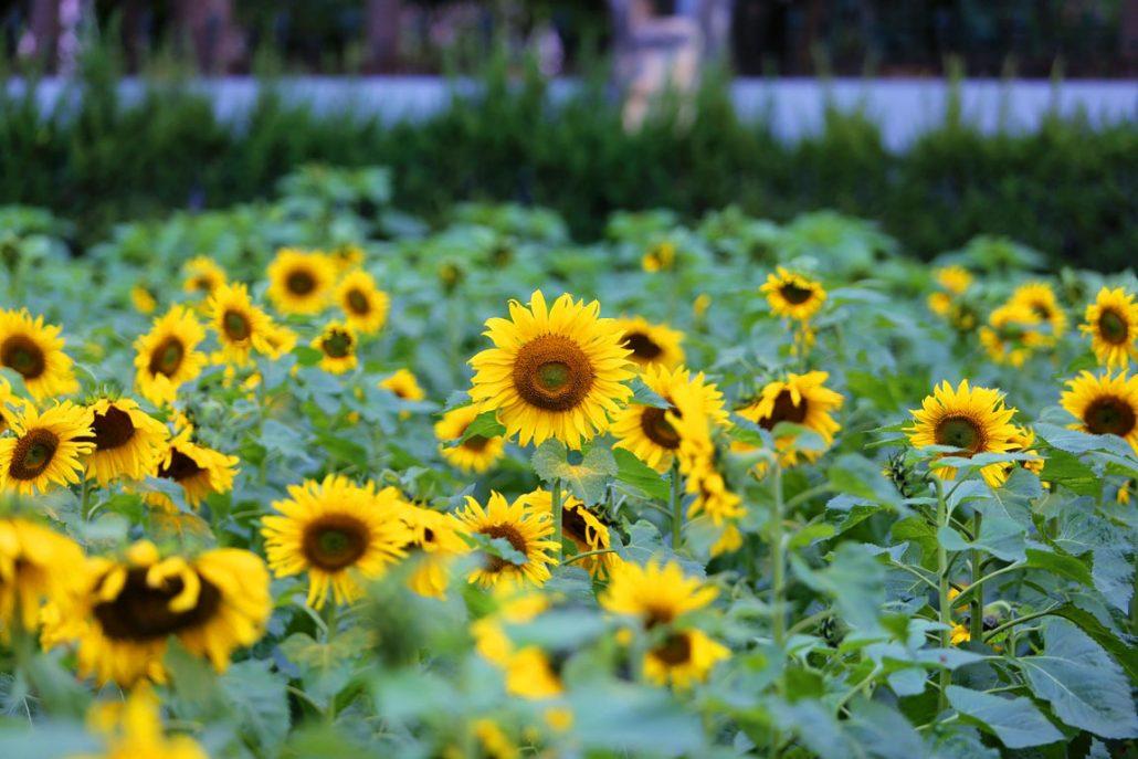 Đến với Đà Lạt để thưởng vườn hoa mặt trời.