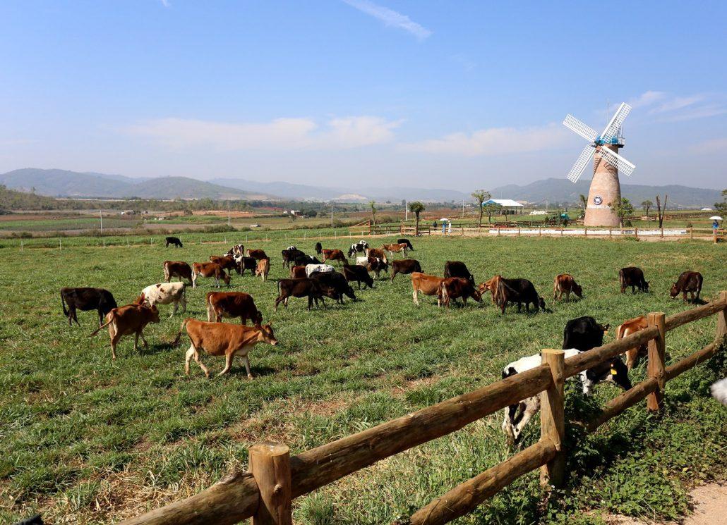 Đà Lạt Milk Farm trang trại châu Âu thu nhỏ.