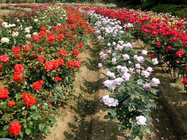Làng hoa Vạn Thành trồng nhiều nhất là hoa hồng.
