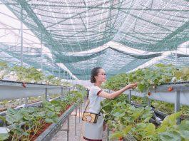 Thăm quan vườn dâu tây tại làng hoa Vạn Thành.