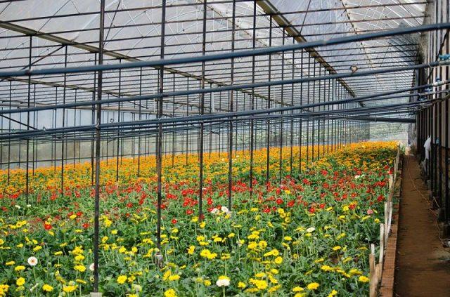 Vườn hoa trồng nhà kính hiện đại tại làng hoa Vạn Thành.