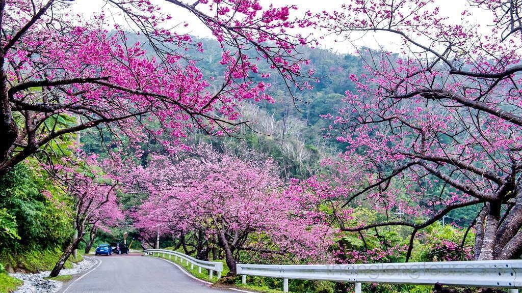 Hoa mai anh đào là biểu tượng cho mùa xuân Đà Lạt