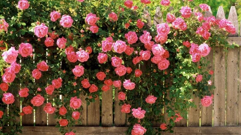 Hoa hồng Đà Lạt luôn cháy hàng trong những dịp lễ tết