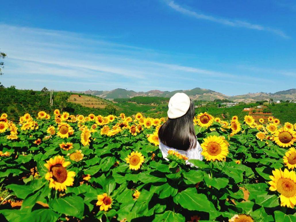 Hoa hướng dương tại Dalat Milk Farm
