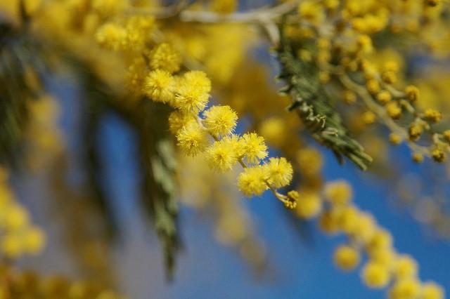 Đà Lạt tháng 12 mùa hoa Mimosa.