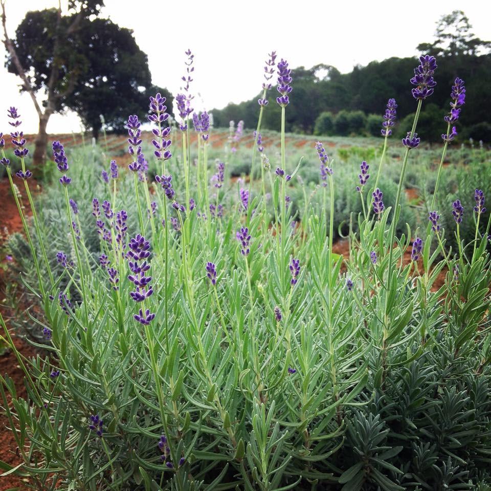 Đà Lạt lãng mạn với hoa Lavender