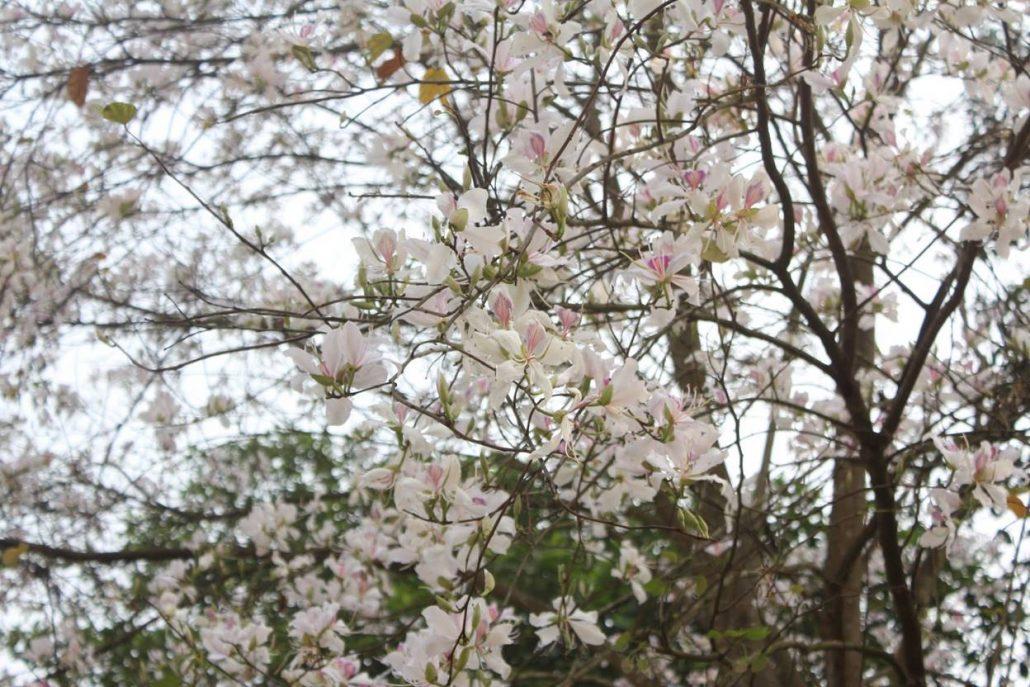 Ngắm hoa ban trắng Đà Lạt.