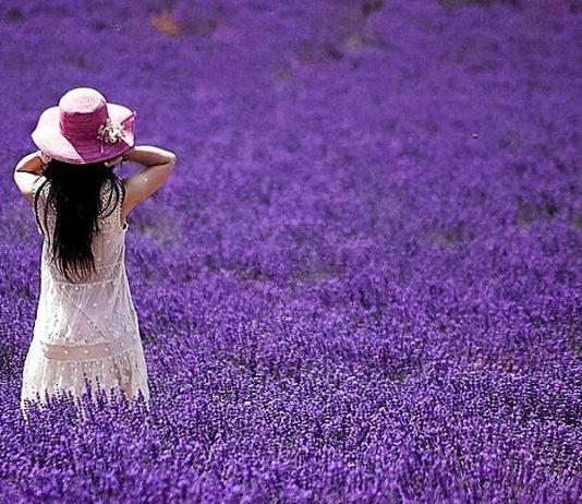 Đà Lạt tháng 7 tràn ngập sắc tím của loài hoa Lavender