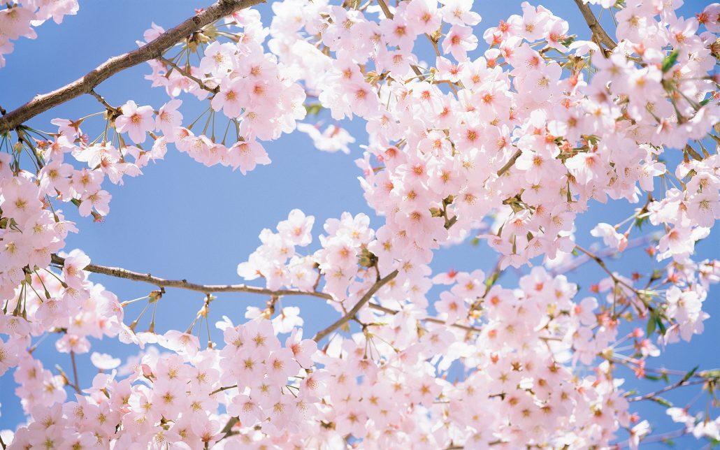 Đà Lạt mùa xuân với sắc hồng của hoa anh đào