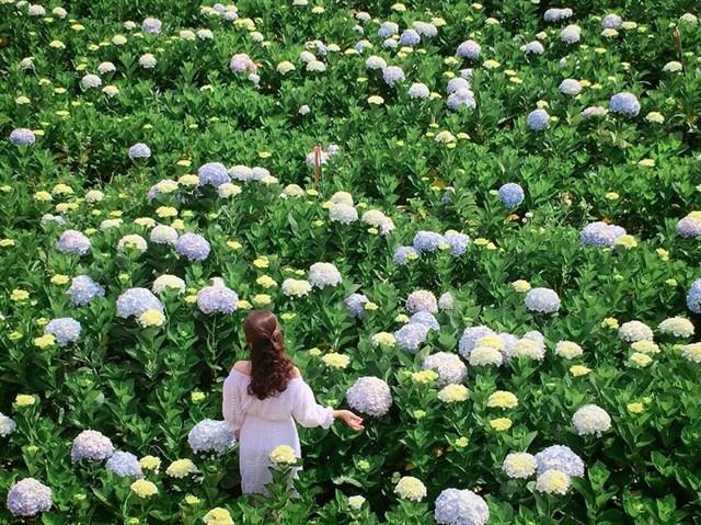 Cánh đồng hoa Cẩm Tú Cầu ở Đà Lạt